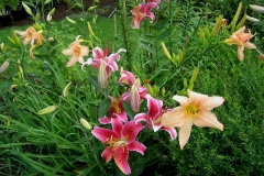 garden vignette 'Stargazer' & 'Peach Sherbet'