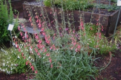 Penstemon coccineus in full bloom