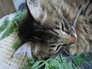 Raven asleep in fresh catnip