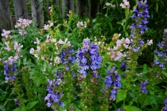 Lobelia siphilitica & Physostegia virginiana greater blue lobelia and pink obedient plant