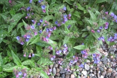 Pulmonaria saccharata early bluebells