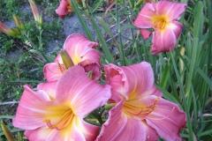 Hemerocallis 'Rosy Image'