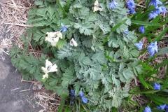 Scilla sibirica & Dicentra cucularia Siberian squill & Dutchman's breeches