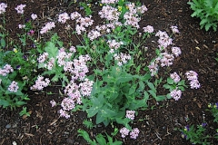 Silene virginica catchfly, pale pink
