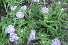 Stokesia laevis Stokes daisy, blue