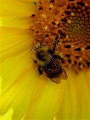 bugs sunflower bee