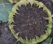 sunflower seedhead ripe