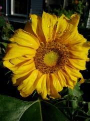 sunflower, newly opened