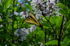 Syringa patula butterfly on 'Miss Kim' lilac