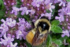Thymus serphyllum creeping thyme with bee