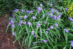 Tradescantia x andersonii hybrid spiderwort