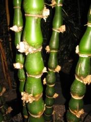 Buddha bamboo, closeup