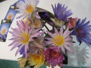 waterlily display