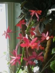 Epidendrum, non-hybrid red