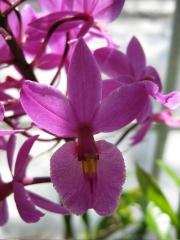 Epidendrum, purple hybrid, closeup terrestrial orchid