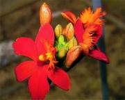 Epidendrum, red, closeup terrestrial orchid