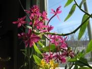 Epidendrum, non-hybrid purple terrestrial orchid