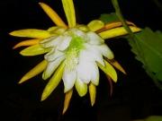 Epiphyllum hybrid orchid cactus, bronze bud, yellow petals