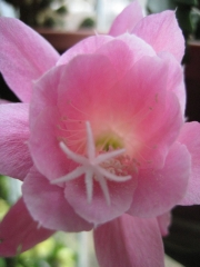 Nopalxochia phyllanthaides orchid cactus, pink, close up