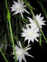 Epiphyllum pumila, bloom dwarf night-blooming cereus, full bloom
