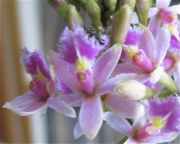 Epidendrum, bicolor pink, closeup terrestrial orchid