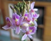 Epidendrum, bicolor pink terrestrial orchid