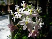 Epidendrum, near white terrestrial orchid