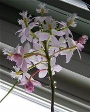 Epidendrum, palest pink terrestrial orchid
