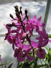 Epidendrum, purple hybrid terrestrial orchid