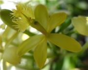 Epidendrum, yellow, closeup terrestrial orchid