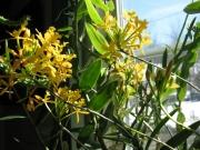 Epidendrum, yellow terrestrial orchid