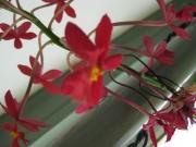 Epidendrum, non-hybrid red terrestrial orchid