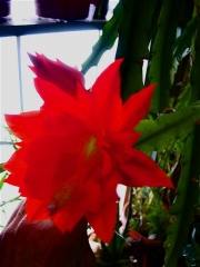Epiphyllum ackermanii scarlet orchid cactus