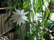 Epiphyllum pumila_ bud_ bloom