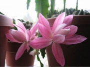 Nopalxochia phyllanthaides orchid cactus, pink