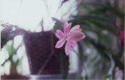 Nopalxochia phyllanthaides orchid cactus, pink, in bud