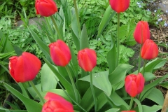 red tulips in full bloom