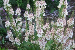 Verbascum hybrid