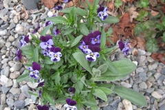 Violas, small-flowered pansies