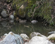 wild ducks on tiny pond 2