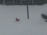 cardinal in the snow2