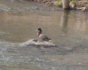 duck sunning itself on a rock in the river