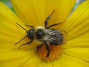 honeybee in calendula, closeup