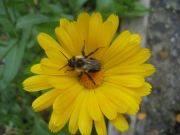 honeybee in calendula