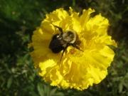 bumblebee in marigold