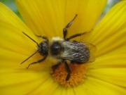 honeybee in calendula, closeup