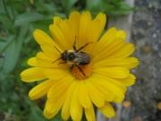 honeybee in calendula
