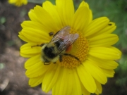 neybee in golden marguerite, closeup